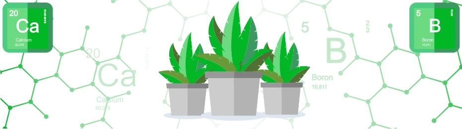 Дефицит кальция и бора в растениях. Последствия и способы борьбы
