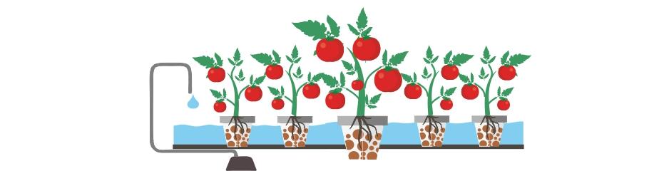 Семена томат гидропоника купить носки с марихуаной спб