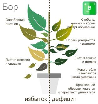 Недостаток бора у растений