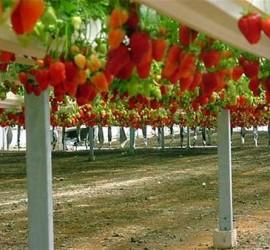 Технология выращивания клубники круглый год 84