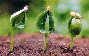 Применение стимуляторов роста для растений